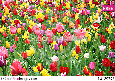 Free Colorful Tulips. Royalty Free Stock Photos - 14139798