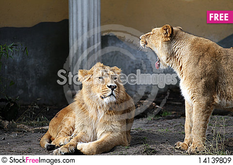 Free Lions Talking Royalty Free Stock Images - 14139809