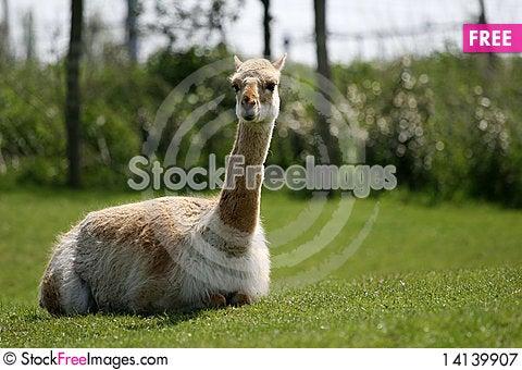 Free Lama Royalty Free Stock Photography - 14139907