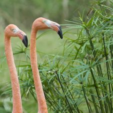 The Head Of Two Red Flamingo In Zoo Stock Photo