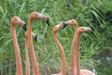 Free The Head Of Red Flamingo In Zoo Stock Photography - 14130212