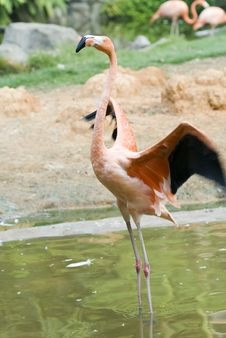 Free The Red Flamingo In Zoo Royalty Free Stock Images - 14130259