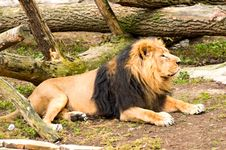 Free The Lion Royalty Free Stock Images - 14130529