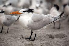 Free Seagulls On The Beach Stock Photo - 14131090