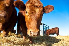 Friendly Cattle On Straw Stock Photo