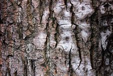 The Bark Of The Birch