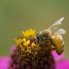 Free Autumn Honey Bee Worker On Pink Flower Royalty Free Stock Photos - 14131828