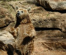 Free Brown Grizzly Bear Stock Image - 14132201