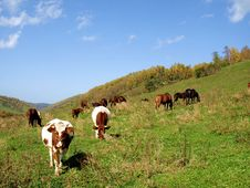 Horses And Cattle Grazing With The Stock Photos