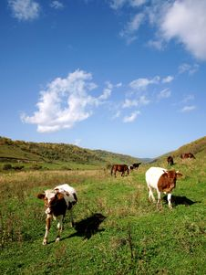 Horses And Cattle Grazing With The Royalty Free Stock Images