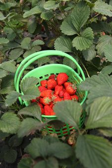 Free Strawberry From Garden Stock Image - 14133921