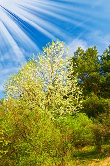 Beautiful Sun Above Spring Forest By Springtime. Royalty Free Stock Photos