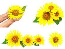 Free Set Of Various Sunflowers Royalty Free Stock Photos - 14135228