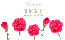 Purple Carnations Royalty Free Stock Photos
