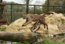 Free Mountain Lion Stock Photos - 14135633