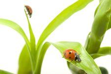 Free Ladybug Stock Photos - 14136893