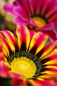 Free Chrysanthemum Stock Images - 14137264