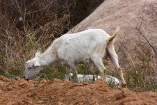 Free Goat Stock Photo - 14137850