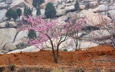 Free Peach Tree Stock Photography - 14138412