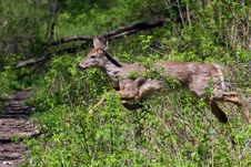 White-tail Deer Royalty Free Stock Photos