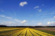 Free Field Of Yellow Daffodils Under A Blue Sky Royalty Free Stock Photos - 14138738