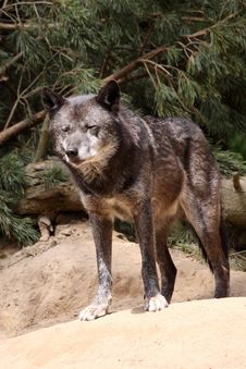 Free Wolf (canis Lupus) Royalty Free Stock Images - 14139909