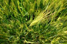 Free Green Wheat Field Stock Images - 14139984