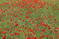 Free Poppy Background2 Royalty Free Stock Image - 14147606