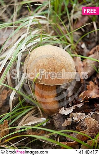 Free Mushroom Boletus Edulis Royalty Free Stock Photography - 14140417