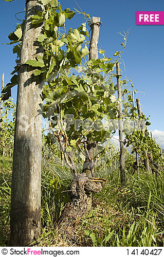 Free Barbera Vineyard Royalty Free Stock Photography - 14140427