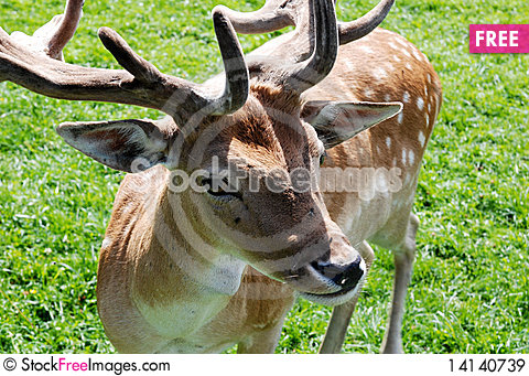 Free Fallow Deer Royalty Free Stock Images - 14140739