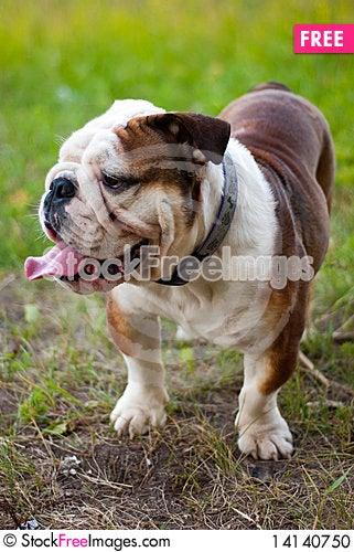 Free English Bulldog Stock Photo - 14140750