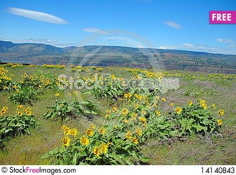 Free Field Of Sunflowers Stock Photos - 14140843