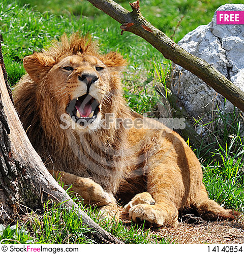 Free Lion Stock Images - 14140854