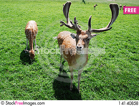 Free Fallow Deer Royalty Free Stock Photos - 14140858