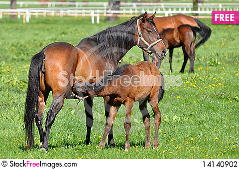 Free Mare And Her Foal At Greastfeeding. Stock Photography - 14140902