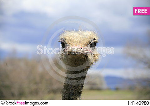 Free OSTRICH Stock Photo - 14140980