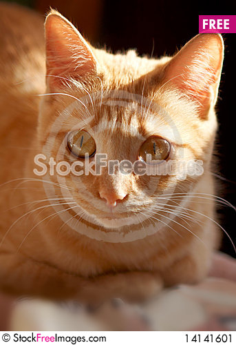 Free Red Cat Close-up Stock Image - 14141601
