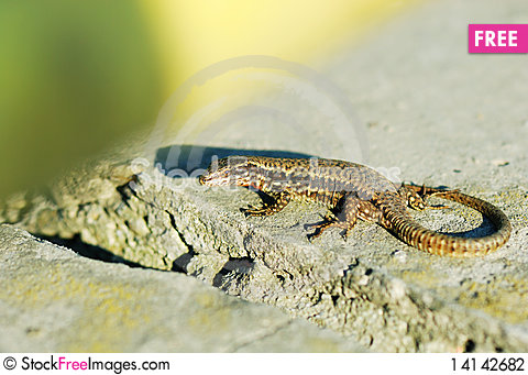 Free Alive Wall Lizard Stock Photography - 14142682