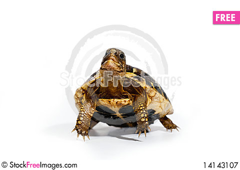 Free Young Turtle Royalty Free Stock Photography - 14143107