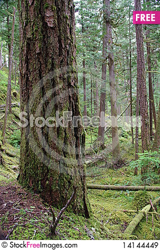 Free Beautiful Forest Of Pacific Northwest Royalty Free Stock Images - 14144449