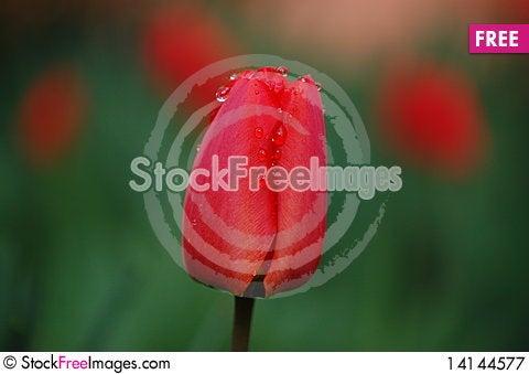 Free Tulip Royalty Free Stock Photography - 14144577