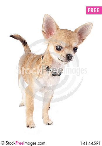 Free Nice Chihuahua Puppy With Necklace Portrait Stock Image - 14144591