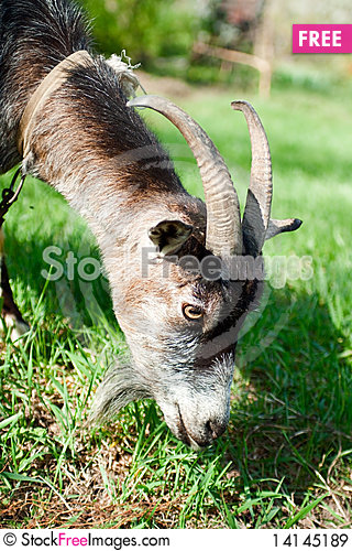 Free Grazing Goat Royalty Free Stock Images - 14145189