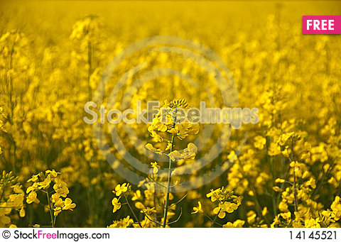Free Close Look Of Yellow Rape Flower And Field Stock Image - 14145521