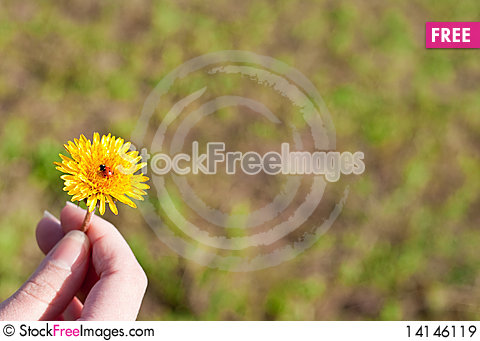 Free Dandelion In A Hand Royalty Free Stock Images - 14146119