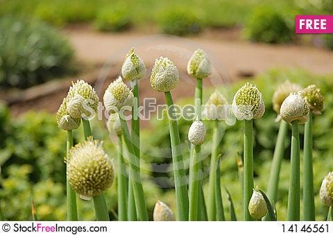 Free Onion Flower Buds Stock Image - 14146561