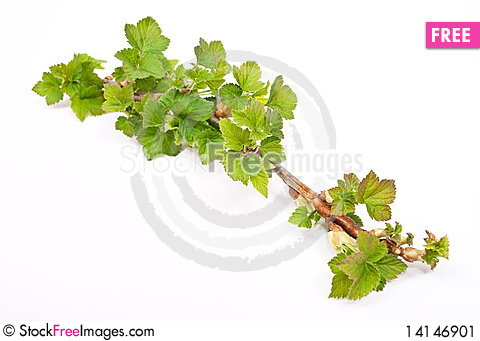 Free Young Green Sprout Of Currant Stock Image - 14146901