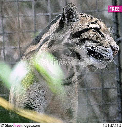 Free Jaguar Stock Images - 14147514