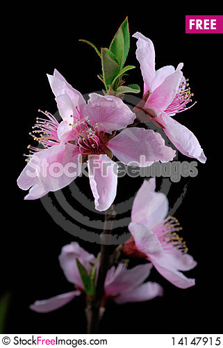 Free Peach Blossoms Royalty Free Stock Photo - 14147915